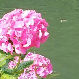 6月の晴れ間に紫陽花