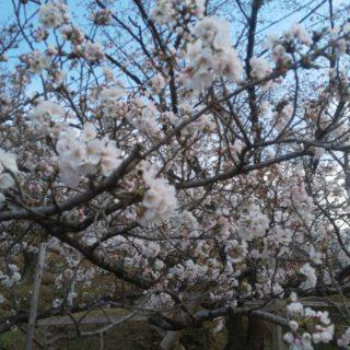 香南市桜前線